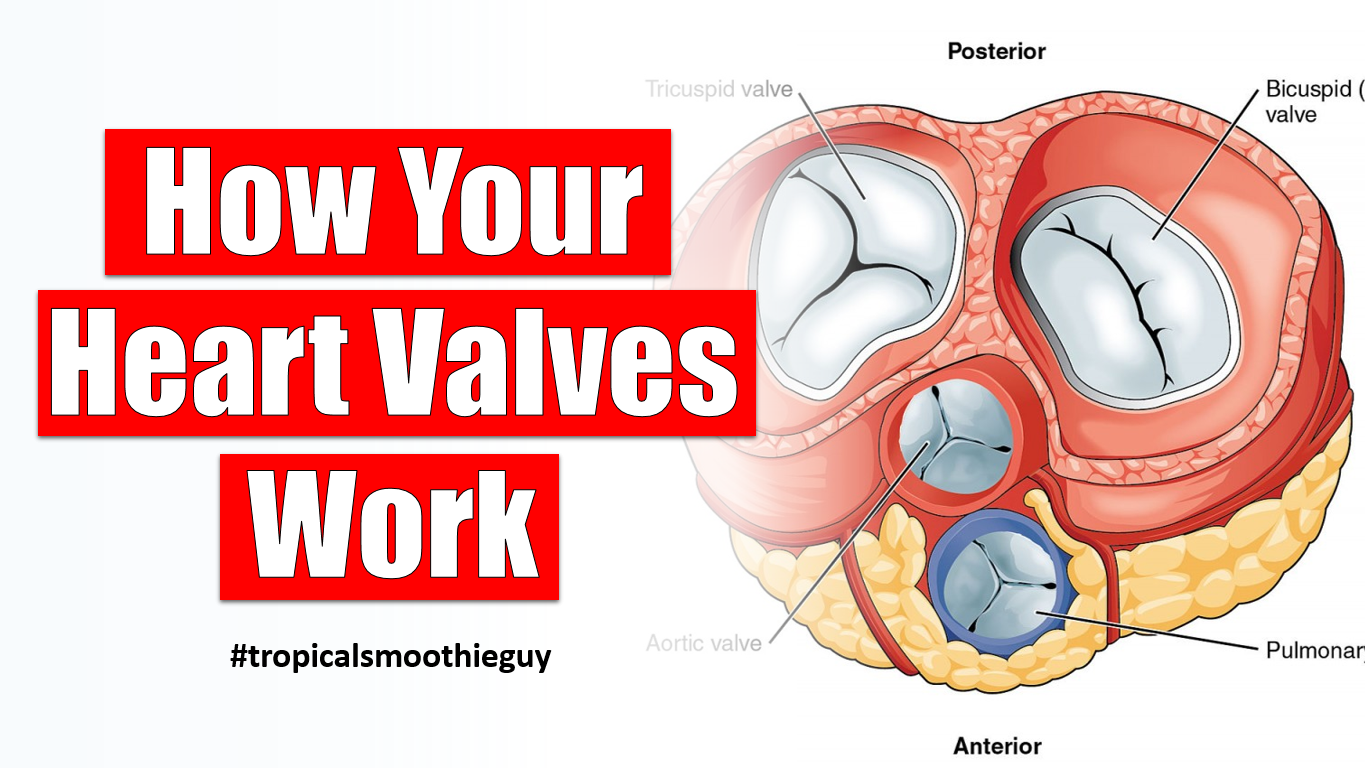 how your heart valves work